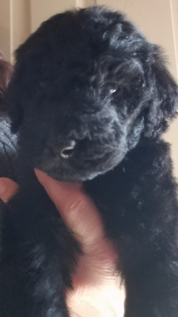 Labradoodle Goldendoodle Puppy For Salepuppy For Sale Va Md Dc Nc Pa