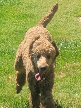 Labradoodle Puppy For Sale Goldendoodle Puppy For Sale
