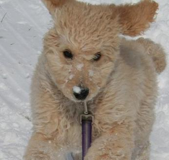 Labradoodle Goldendoodle puppies for sale VA MD DC, doodle