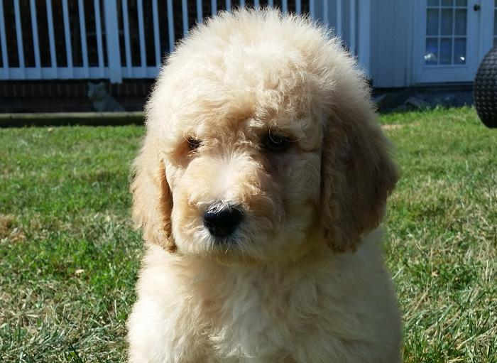 Labradoodle Goldendoodle Puppies For Sale Va Md Dc Doodle Dog Pups